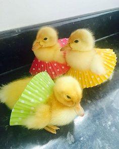 Ducklings in tutus! Baby Animals Super Cute, Cute Little Animals, Cute Funny Animals, Cutest Animals, Pet Ducks, Baby Ducks, Baby Animals Pictures, Cute Animal Photos, Nature Animals