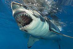 Shark Bait, Shark S, Shark Week, Deep Blue Shark, Shark In The Ocean, Shark Pictures, Shark Photos, Megalodon, Orcas