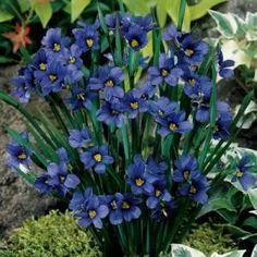 Sisyrinchium angustifolium 'Lucerne' - Blue-eyed Grass
