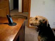 In 2010, an incredibly vocal Airedale terrier named Stanley adorably attempted to keep up his end of a phone conversation with just a little prompting from his dad and a just a bit of encouragement...