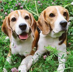 Beagle, Pitbulls, Dogs, Animals, Animales, Pit Bulls, Animaux, Beagle Hound, Pet Dogs