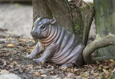 Baby hippo. Look at all those rolls!
