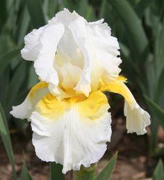 TB Iris germanica 'Sunny Shoulders' (Hager, 1989) .................. Rebloomer