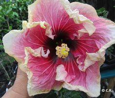 20 Fresh Purple Sleepy Hibiscus rosemallow Graines