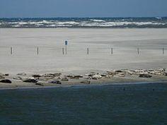 Seehunde, Phoca Vitulina, Robben