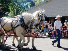 American Cream Draft horses in harness