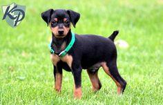 Darwin – Miniature Pinscher Puppies for Sale in PA | Keystone Puppies