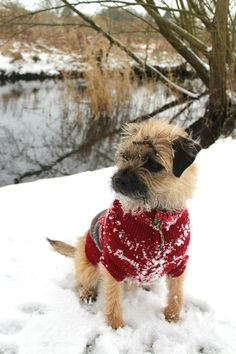 Scrappy little Border Terrier with a twig in his hair.