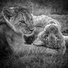 """There is nothing quite like watching young Cubs play after they have suckled from their mother. Their new found energy is immediate, yet short lived. #lion #bigcat #kenya #animals #nature #wildlife #wildlifephoto #wildlifephotography #maraplainscamp #masaimara #greatplainsconservation #andybiggs #theglobalphotographer"" Photo taken by @theglobalphotographer on Instagram, pinned via the InstaPin iOS App! http://www.instapinapp.com (01/28/2015)"