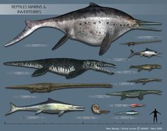 Size comparison between sea monsters. Prehistoric Wildlife, Prehistoric World, Prehistoric Creatures, Amazing Beasts, Magnificent Beasts, Sea Creatures, Weird Creatures, Les Reptiles, Extinct Animals