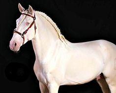 Cremello Puro Sangue Lusitano stallion, Altrevido.