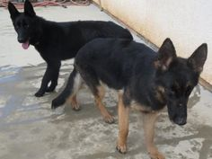 Adopt Nova on Petfinder Rescue Puppies, German Shepherd Dogs, Nova, Adoption, Animals, Animales, Animaux, German Shepherds, Animal