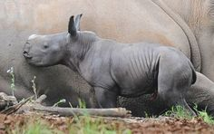 Australia Zoo announced the birth of their second Southern White Rhinoceros calf, a baby girl.