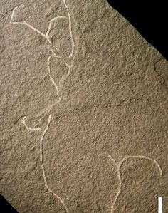 Fossils of two species of previously unknown ancient multicellular marine algae have been discovered. Their age is estimated to be more than 555 million years old, placing the fossils in the last part of Precambrian times.