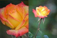 Nincsen kert rózsa nélkül – A rózsa szaporítása « moksha.hu
