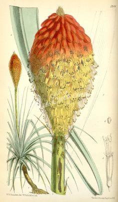 5946-kniphofia caulescens      ...