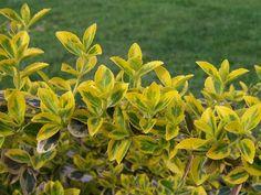 Trzmielina Fortunea 'Sunspot' - Katalog roślin - wszystko o ogrodach e-ogrodek.pl