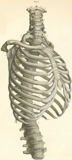 The vertebrae of the thorax, with the cervical, lumbar and shoulder; on the right side and seen from the front.  #rib #ribcage #spine #skeleton  #medical #medicine #anatomy #illustration #drawing #vintage