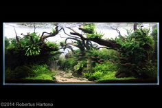 "IAPLC2014   Second Place : Entry #370: 162L Aquatic Garden: ""Hope"" by Robertus…"