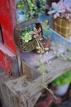 Succulent hanging.