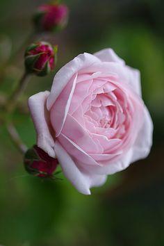 Bourbon Rose: Rosa 'Mademoiselle Blanche Lafitte' (France, 1851)