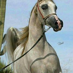 horse horses beautiful running cool arabianhorse gray grayhorse