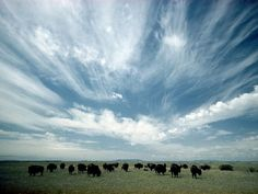 Bison Graze,   Photograph by Thomas J. Abercrombie,     Bison graze lazily under a powder-blue North Dakota sky. Bison were critical to the lives of the Great Plains Indian tribes, who made use of every part of these animals.