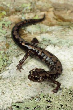 Weller's Salamander   Flickr - Photo Sharing!