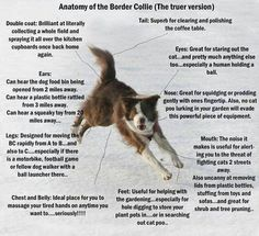 anatomy of a border collie