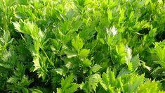 Pěstování celeru   Prima nápady Herbs, Herb, Medicinal Plants