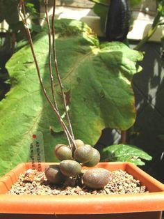 adromischus marianae cv. little sphaeroid