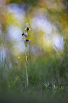 Bee+Ophrys
