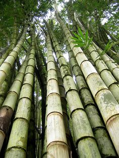 Giant Bamboo, via Flickr. Yeah, I know it's a grass, but still.  Whoa.