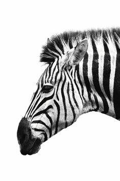 White Zebra Art Print by Wouter Rikken Zebra Makeup, Zebra Drawing, Zebra Art, Illustration, Black And White Aesthetic, White Zebra, Animal Sketches, African Animals, Canvas Prints