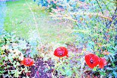 poppies by Halina at moments of a libra