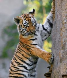 ~~Watching ~ amur tiger cub by Klaus Wiese~~