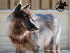 Raven, female high content wolfdog