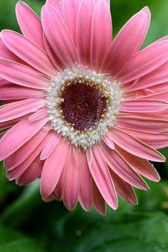 "Pink daisy... Kimberly Gerner art print on fineartamerica | ""This Pin was discovered by Christina Polites. Discover (and save!) your own Pins on Pinterest. 