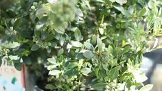 Video: How to Plant a Small Blueberry Bush