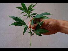 ▶ Como Hacer Enraizante Natural Con Lentejas || Remedios Organicos || La Huertina De Toni - YouTube