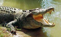 crocodile - Buscar con Google