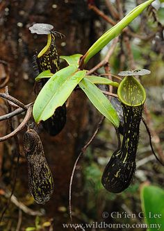 Nepenthes mikei.