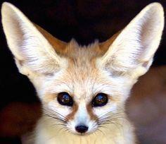 Fennec Fox: The Cutest Animal In The World !