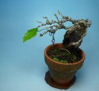 コナラ葉刈り | 小品盆栽てのり樹工房