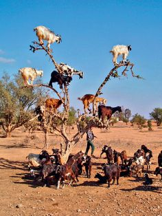 "Funny Wildlife • earth-song: The goats are found in Morocco and... ""What do you mean, goats don't grow on trees?"""