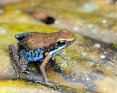 Ameerega altamazonica (Dendrobatidae) is a species of poison frog endemic to the East-Andean versant of Central Peru.