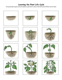 plant growth sequence cards: