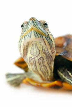 Important Red Eared Slider Pet Care Information