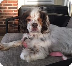 Special Needs! Blind! Cocker Spaniel Dog for adoption in Kannapolis, North Carolina - Mocha