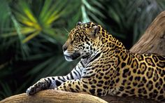wallpaper of animals: Jaguar lying on the branch